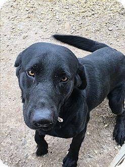 Australian Shepherd Dog for adoption in Parker, Kansas - Remington