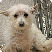 Norfolk Terrier Dog for adoption in San Francisco, California - CARLY ROSE
