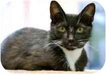 Domestic Shorthair Cat for adoption in Marietta, Georgia - Vincent