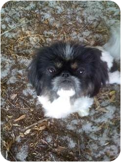 Pekingese Dog for adoption in Orlando, Florida - Lola