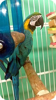 Macaw for adoption in Lexington, Georgia - Hadji