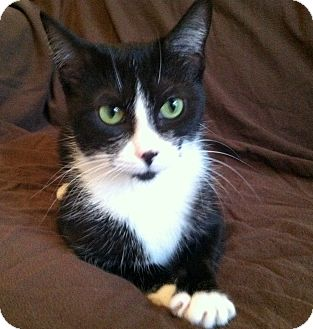 Domestic Shorthair Cat for adoption in Troy, Michigan - Bella