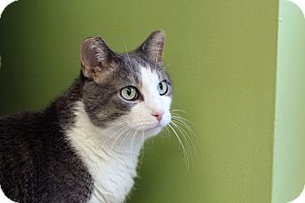 Domestic Shorthair Cat for adoption in Chicago, Illinois - Quimby