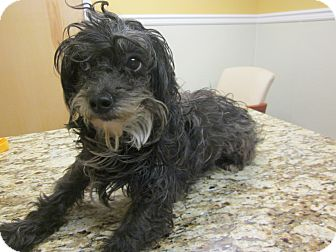 Yorkie, Yorkshire Terrier/Poodle (Toy or Tea Cup) Mix Dog for adoption in Oak Ridge, New Jersey - Jenga