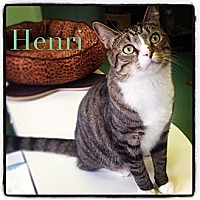 Adopt A Pet :: Henri - New York, NY
