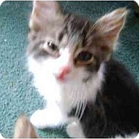 Adopt A Pet :: Baby Tiger - Westfield, MA
