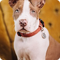 Adopt A Pet :: Vinnie - Portland, OR
