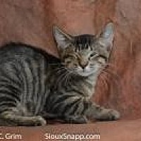 Domestic Shorthair Cat for adoption in New Orleans, Louisiana - Sherif