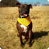 Adopt A Pet :: HARRY - New Cumberland, WV