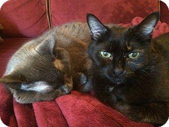 Domestic Shorthair Cat for adoption in Brampton, Ontario - Paris