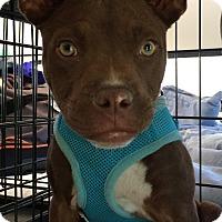 Adopt A Pet :: Batman - 20 lbs - Warwick, NY