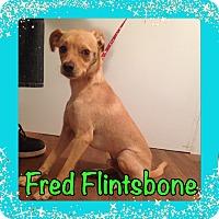 Basenji Mix Dog for adoption in Pahrump, Nevada - Fred Flintsbone