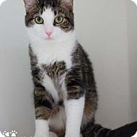 Domestic Shorthair Cat for adoption in Merrifield, Virginia - Clyde