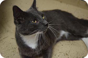 Domestic Shorthair Cat for adoption in Pottsville, Pennsylvania - Sammy