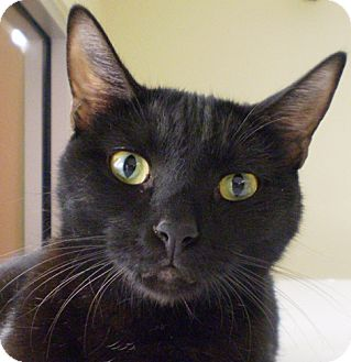 Bombay Cat for adoption in Santa Fe, New Mexico - Patrick