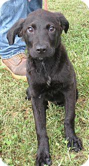 Blue Heeler/Hound (Unknown Type) Mix Puppy for adoption in Reeds Spring, Missouri - Sugar