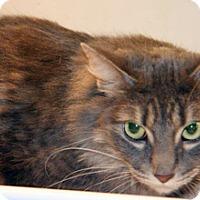 Domestic Longhair Cat for adoption in Wildomar, California - Twitters
