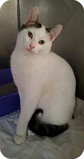 Domestic Shorthair Cat for adoption in Freeport, New York - Munchkin