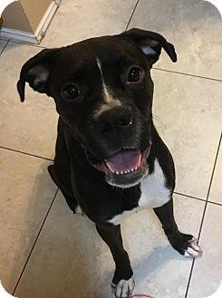 Boxer Puppy for adoption in Hurst, Texas - Karibu