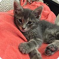 Adopt A Pet :: 398594 Smokey - San Antonio, TX