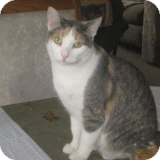 Domestic Shorthair Cat for adoption in Leamington, Ontario - Dreama