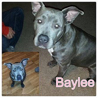Pit Bull Terrier Mix Puppy for adoption in Garden City, Michigan - Baylee