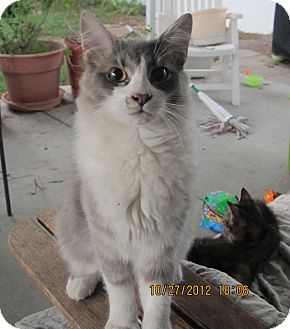 Domestic Mediumhair Cat for adoption in Laguna Woods, California - Adorable Fluffy