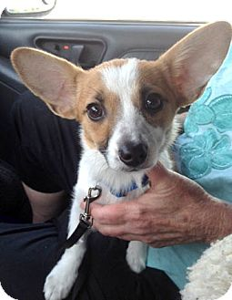 Jack Russell Terrier Mix Puppy for adoption in Richmond, Virginia - Hope
