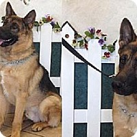 German Shepherd Dog Dog for adoption in Newport Beach, California - Rocky