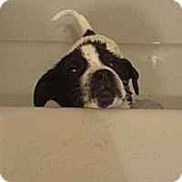 Adopt A Pet :: Roo - Morgantown, WV