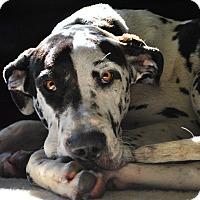 Adopt A Pet :: Moxie - O'Fallon, MO