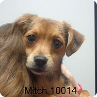 Adopt A Pet :: Mitch - baltimore, MD