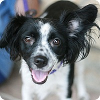Adopt A Pet :: Princess-Mini Aussie Mix! - Canoga Park, CA
