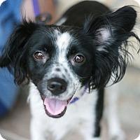 Adopt A Pet :: Princess-Mini Aussie Mix! - Canoga Park, CA