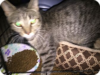 Domestic Shorthair Cat for adoption in Warren, Michigan - Daisy -Special Adoption $75