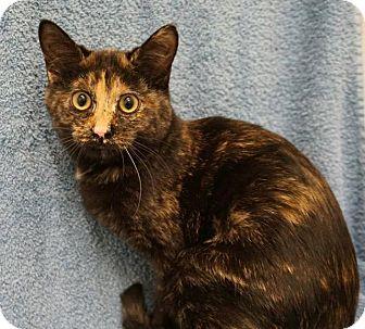 Domestic Shorthair Cat for adoption in Wauconda, Illinois - Michaela