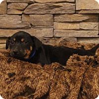 Adopt A Pet :: Rob - Waldorf, MD