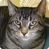Domestic Shorthair Cat for adoption in Rochester, New York - Elena