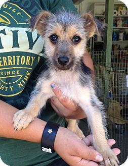 Yorkie, Yorkshire Terrier Mix Dog for adoption in Temecula, California - Rascal