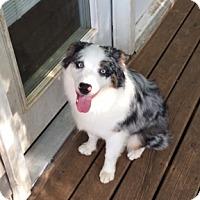 Adopt A Pet :: Auzzie - Elk River, MN