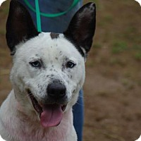 Australian Shepherd/Australian Cattle Dog Mix Dog for adoption in Longview, Washington - Porcha