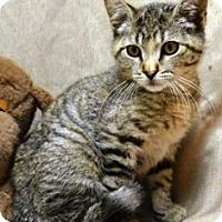 Domestic Shorthair Kitten for adoption in Columbus, Nebraska - Marlene