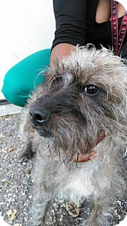 Schnauzer (Miniature)/Chinese Crested Mix Dog for adoption in Des Moines, Iowa - Bear