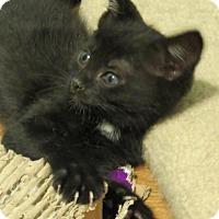 Domestic Shorthair Kitten for adoption in Florence, Kentucky - Johnny Cash