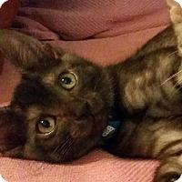 Adopt A Pet :: Batman - Fairfax, VA