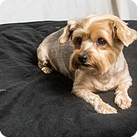 Yorkie, Yorkshire Terrier Dog for adoption in Seminole, Florida - Megan
