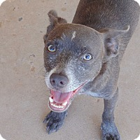 Adopt A Pet :: Jaguar - Las Cruces, NM