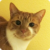 American Shorthair Cat for adoption in Eastsound, Washington - Buttercup