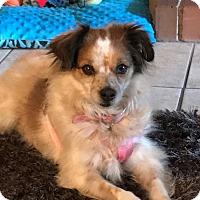 Adopt A Pet :: Pee Wee - Las Vegas, NV