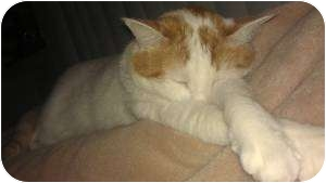 Domestic Shorthair Cat for adoption in Franklin, North Carolina - Butter-Rum